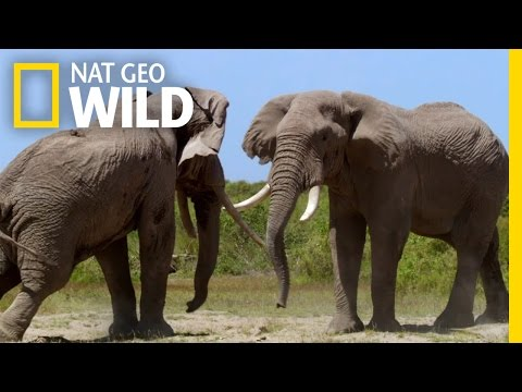 Waring Elephants | Deadly Instincts