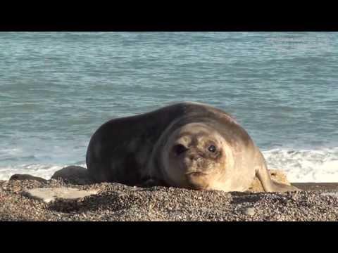 Faune de la péninsule Valdés et Puerto Madryn, Patagonie argentine : baleines, manchots...