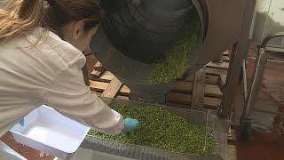 Legumes see new life in flowerpots   futuris
