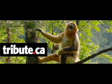 "Born in China - Movie Clip: ""Monkeying Around"""