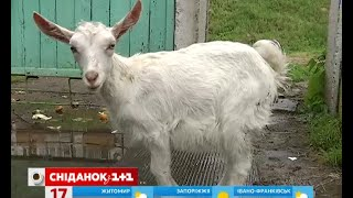 Родина тримає ферму у спальному районі Києва