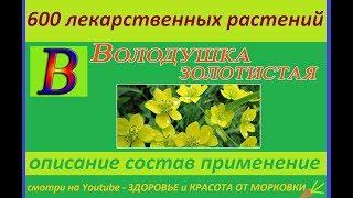 володушка золотистая 600 лекарственных растений