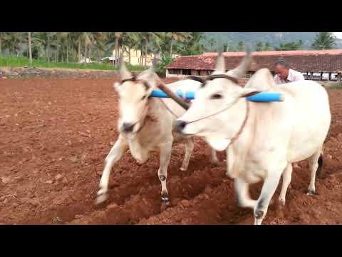Kumaresan farms- bull husbandry(காளை வளர்ப்பு ) bull ploughing