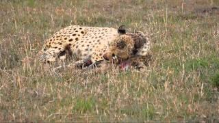 Leopard eating a Gazelle
