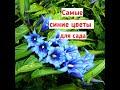 Цветы синего цвета для сада! Горечавка ластовневая - редкий многолетник, горечавка посадка и уход!