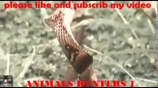 eagle vs king cobra 1 snake attack kill animals vipar vs anaconda