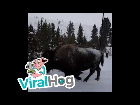 Yellowstone Park Welcoming Committee || ViralHog