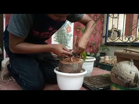 Cara Pembuatan Bonsai Kelapa Dg Mudah Youtube