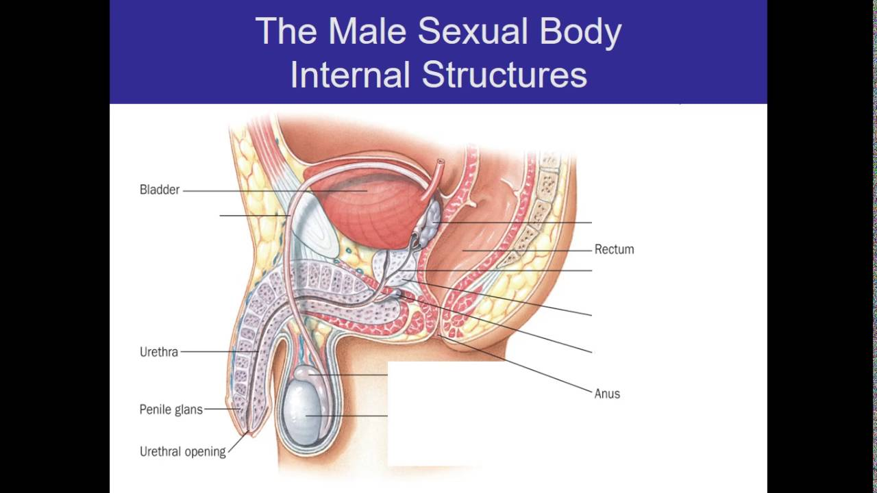 Human Sexuality Ch 2 Male anatomy cont\'d - YouTube