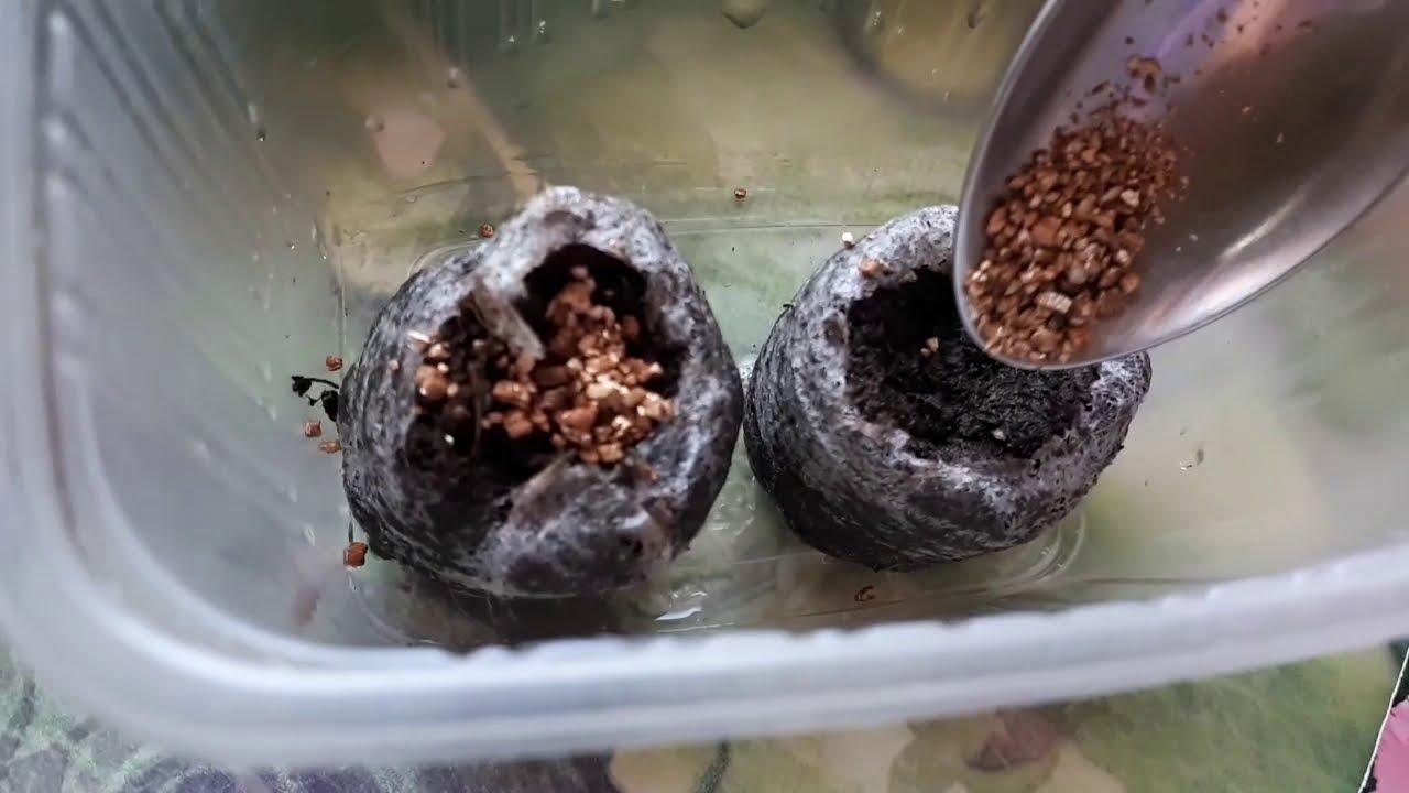 А Вы уже посеяли гвоздику?