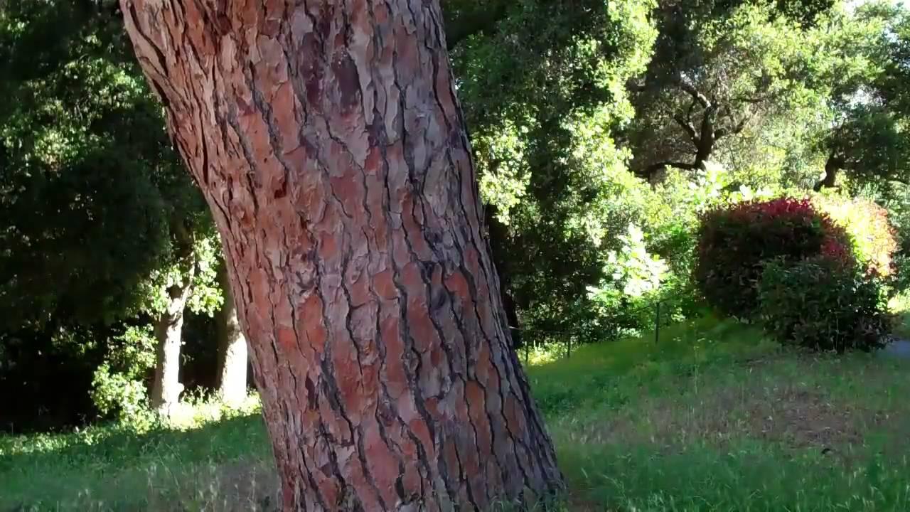 74 Italian Stone Pine You