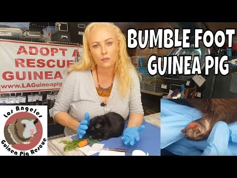 Bumblefoot in Six Year Old Guinea Pig - YouTube