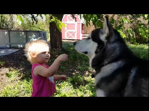 Cute Baby Films Malamute While She's Getting Filmed!