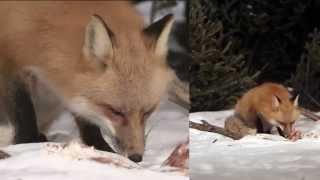 RED FOX (2 cameras) 1080p