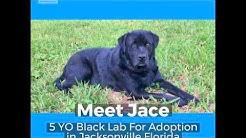 Black Labrador Retriever For Adoption Jacksonville Florida - Meet Jace