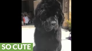 Huge Newfoundland puppy enjoys relaxing blowout