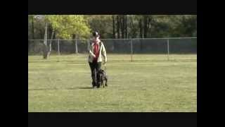 Rescued Bait Dog Completes Schutzhund Obedience Title