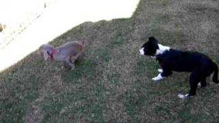Border Collie Herding Weimaraner