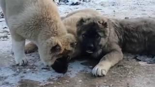 Кавказская овчарка. Caucasian Shepherd. Janim. Джаним. Тося