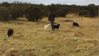 Sheep Chasing Modification - Day 2 - Dog Training To Stop A Dog From Chasing Sheep
