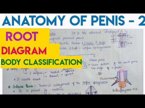 Anatomy Of Penis - 2