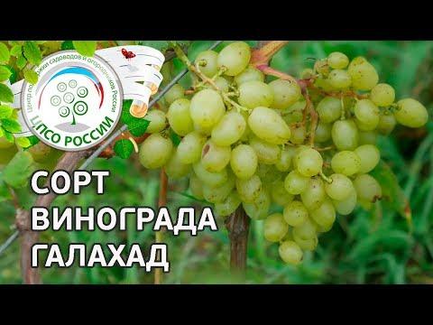 Сорт винограда Галахад. 🍇 Описание сорта винограда Галахад.