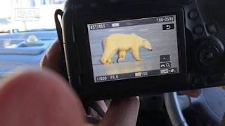 Белый медведь на Камчатке | Новости сегодня | Происшествия | Масс Медиа