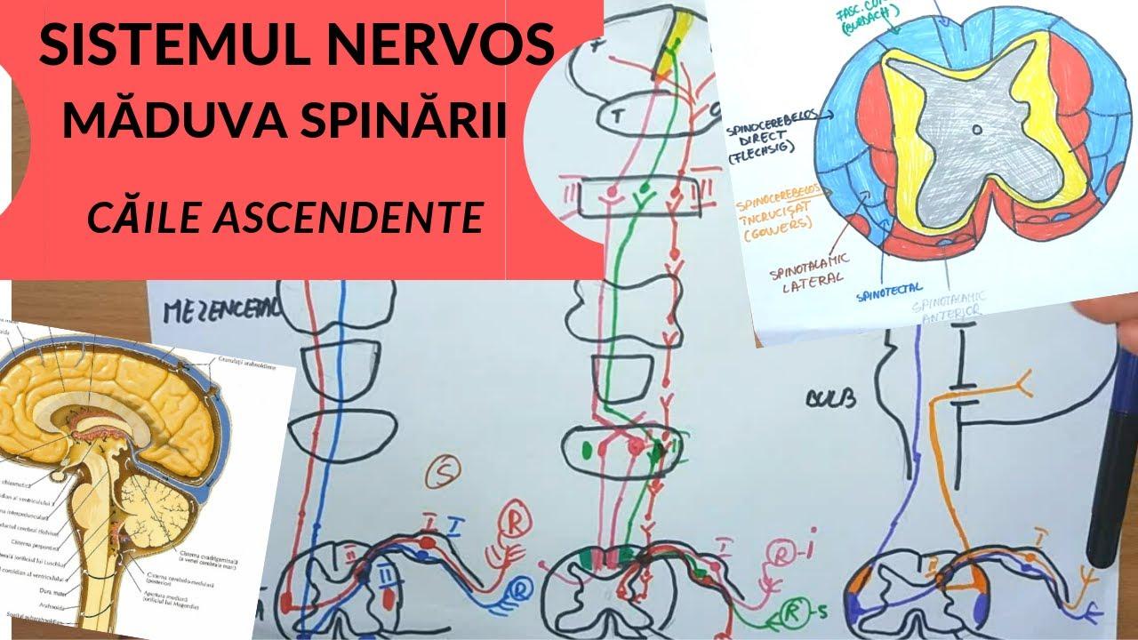 sistemul nervos al panglicii largi
