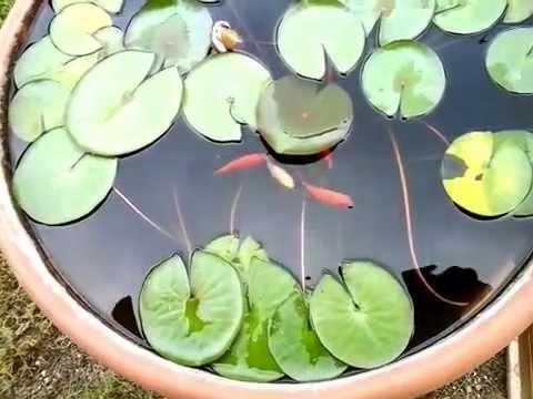 Pesci rossi e ninfee youtube for Pesci per laghetto giardino