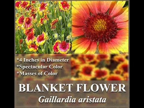 BLANKET FLOWER - Gaillardia aristata FLOWER SEEDS on  www.MySeeds.Co