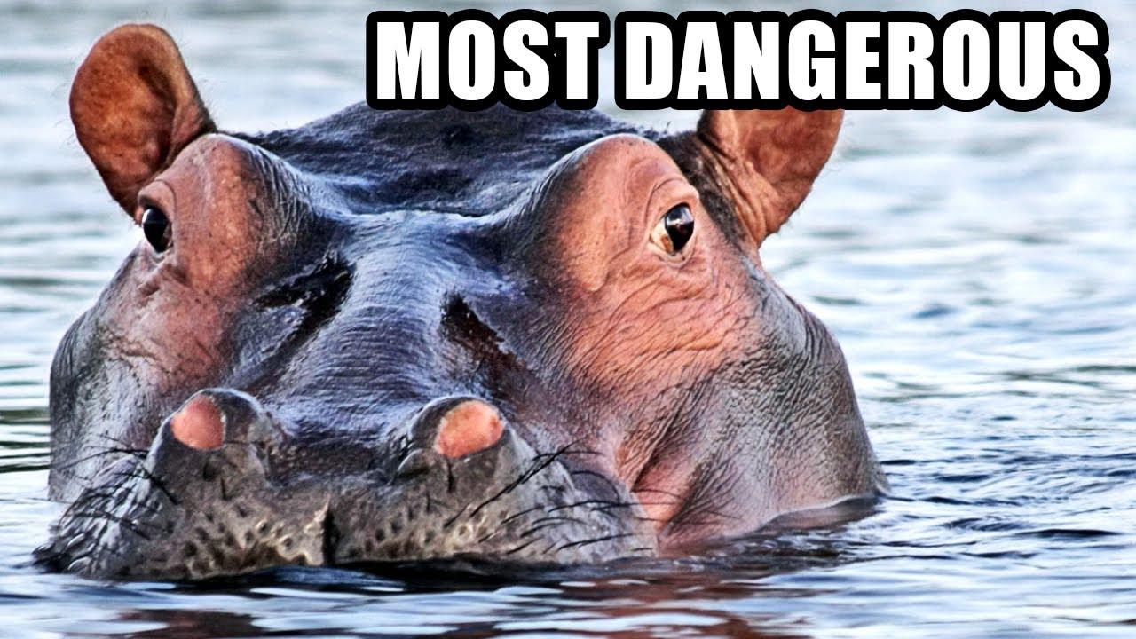Hippos: Africa's Most Dangerous Animal? Weird Hippopotamus Fun ...