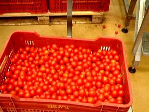 pomodoro semisecco -lavaggio e selezione ciliegino www.davafood.it