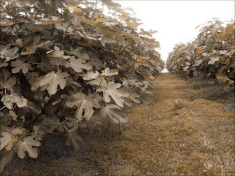 Figs Ripen : A Morning Walk