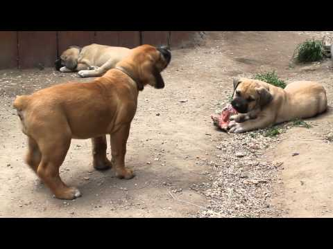 Boerboel Puppy Needs Bone