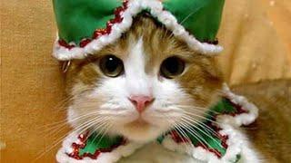 Кошки в новогодних костюмах. Котики в одежде, красивая подборка.