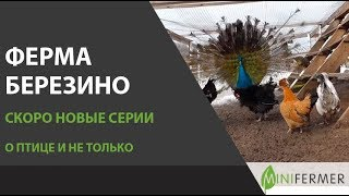 Ферма БЕРЕЗИНО: новые серии о птице, птицеводстве и фермерстве!