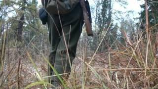 Охота по глухарю на лиственнице осенью