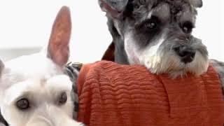 강아지옷뜨기 톰브라운 강아지뜨개옷 명품옷 가을옷 강아지…