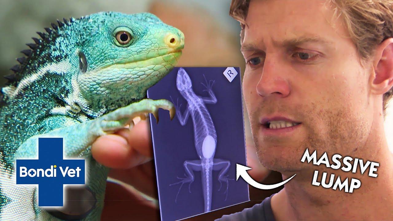 Dr. Chris Makes Alarming Discovery Inside Iguana's Belly! | Full Episode | Bondi Vet