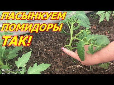 Пасынкуем помидоры ТАК !!!