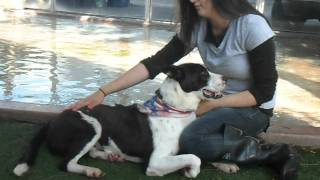 Duke - Handsome Obedience Trained Bull Terrier / Border Collie Mix Needs Home
