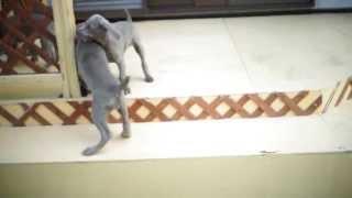 ワイマラナーの子犬 (生後64日目) 活動的になりました。