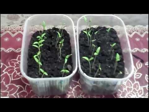 Томат Дубок раннеспелый, низкорослый сорт томатов