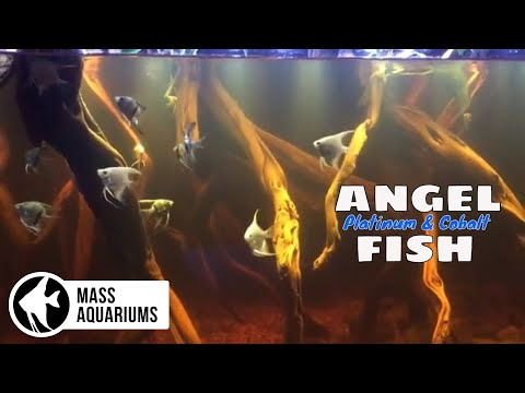 I ADDED 16 ANGEL FISH To My AQUARIUM: Platinum And Cobalt Angel Fish Added To The SCA 135 Gallon