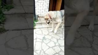 Собака пытается снять цепь