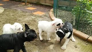 右目パンチ♀、ブリンドル♀、白パイド♀、黒多目パイド♂が元気に飛び回っ...