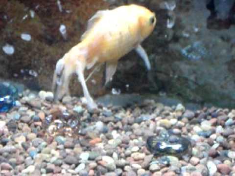 Bultos tumores y quistes en peces de acuario todos for Antialgas para estanques con peces