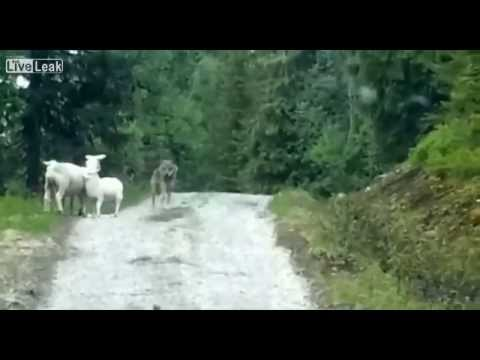 Wolf Attacks Sheep... Surprise!