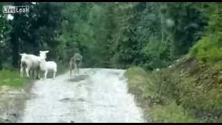Wolf Attacks Sheep... Surprise!