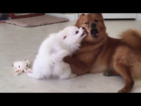 American Eskimo puppy challenged an older Finnish Spitz (9)